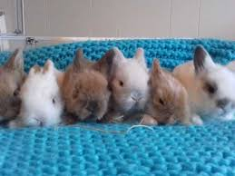 lion heads for sale lionhead rabbits for sale in wales pets4homes