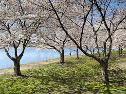 10 places to see cherry blossoms in the u s besides d c