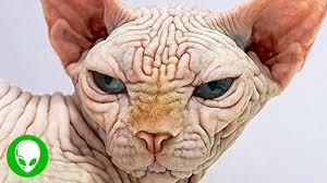 Hairless Cat Meme - four legged scrotums youtube