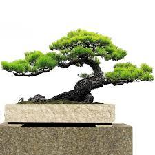 japanese black pine seed bonsai garden interior decoration