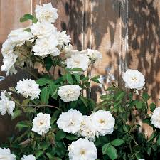 lace cascade climbing rose at jackson u0026 perkins