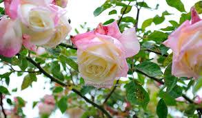 a rose is a rose what u0027s in a name a tea or not a tea