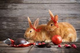 chocolate rabbits rabbit ate chocolate petcha