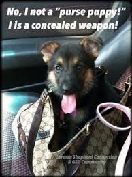 German Shepherd Memes - funny gsd memes german shepherd dog forums