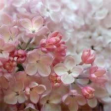 cherry flowers wallpapers flowers white apple blossoms photograph beautiful pink cherry