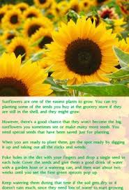 teddy sunflowers teddy sunflowers a cuddly flower yellow flowers