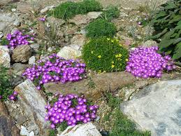 Kies Garten Gelb Mittagsblume U2013 Delosperma Blühen Jetzt Gelb Gartenpflanzen