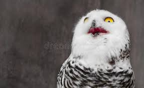 Shocking Meme - white owl with shocking meme face stock image image of eyes