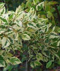 ornamental trees i many of these they smell great when