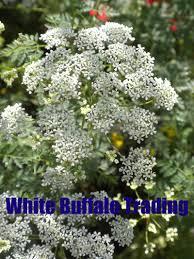 plant lore white buffalo trading