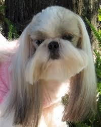 haircuts for shih tzus males shih tzu hair styles for male 4 shih tzu my fav dog pinterest