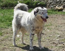 4 australian shepherd x dalmation monet u2013 5 year old male st bernard cross dalmatian dog for adoption