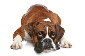 boxer boxer dog stock photos royalty free boxer dog images and pictures