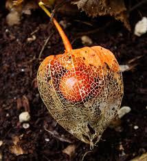 Japanese Lantern Plant Product Categories Medicinal Herb Seeds C U2013 D Strictly Medicinal