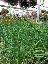 plants that keep mosquitoes away 10 mosquito repelling plants u2013 westwood gardens blog