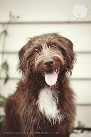 belgian shepherd gumtree 30 best koolie images on pinterest cattle dogs dog photos and