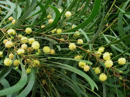 hawaii native plants restore hamakua u2013 healthy climate communities