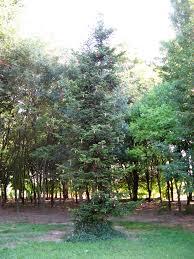 weihnachtsbaum christmas tree artfarm pilastro pilastro di