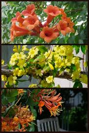 Solar Cattail Lights Costco by 61 Best Flowering Vines Images On Pinterest Flowering Vines