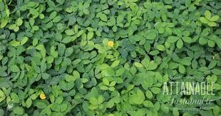 perennial peanut a drought tolerant alternative to grass lawn