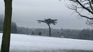 a special tree in the snow picture of cassiobury park