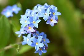 alaska s state flower forget me not