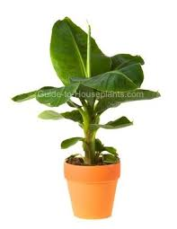 best 25 banana plant care ideas on swiss cheese plant