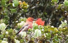 hawaii native plants killing birds invasive species in hawaii birds in a changing world