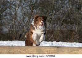 australian shepherd jumping hund stock photos u0026 hund stock images alamy