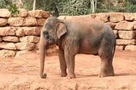 Tisch Family Zoological Gardens - un des trois éléphants du zoo picture of tisch family zoological