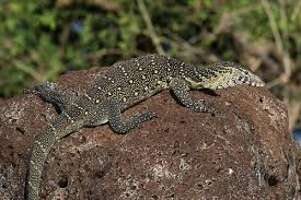 nile monitor wikipedia