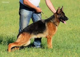 belgian sheepdog price bea for sale female german shepherd breeders ontario
