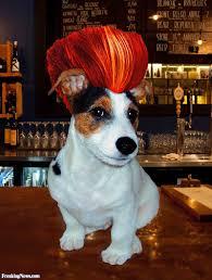 haircut ideas for long hair jack russell dogs rocker jack russell in a wig funny rockers pinterest rockers