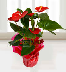 anthurium flower anthurium attraction plants 24 99 free chocolates prestige