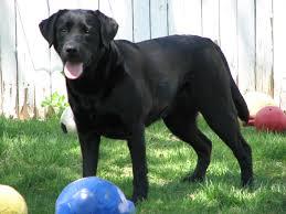 afghan hound and labrador retriever borador labrador retriever and border collie mix spockthedog com