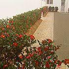 Burke Backyard Img 1390b Jpg 茶梅 Camellia Sasanqua Pinterest
