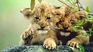 lion cubs closeup ngsversion 1475241171716 jpg