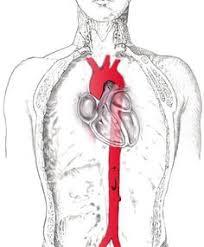 Abdominal Anatomy Quiz Abdominal Aneurysm Signs And Symptoms Abdominal Aortic Aneurysm