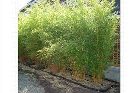 a hill and sons wholesale plants cheap plants ornamental grasses