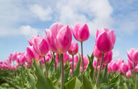planting bulbs for flowers fall flower bulbs the