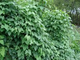 lima beans ediblesanmarcos u0027s blog