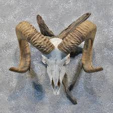 horns for sale corsican ram skull horns 12183 the taxidermy store