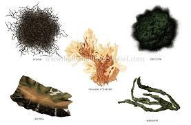 cuisiner les algues alimentation et cuisine alimentation algues image