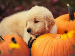 halloween pumpkin desktop backgrounds puppy in a halloween costume it s so hard being a puppy halloween