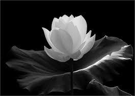 Lotus Flower In Muddy Water - flower muddy waters white lotus flower and white lotus