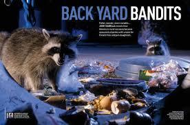 Raccoons In Backyard Raccoons Back Yard Bandits Discover Wildlife