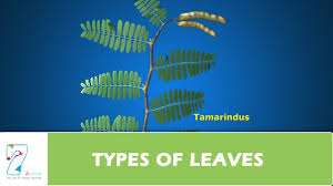 types of leaves youtube