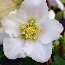 helleborus niger white hellebore