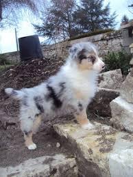 australian shepherd fur 5267 best austrailian shepherds images on pinterest aussies