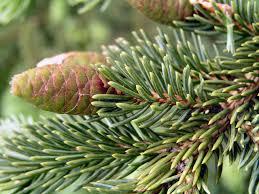 kansas native plants state tree black hills spruce south dakota pinterest south